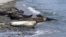 Beach seals Royalty Free Stock Image