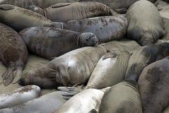 Beach of Seals Royalty Free Stock Photos