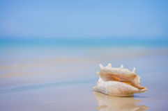 A beach with seashell of lambis truncata on wet sand. Tropical p Royalty Free Stock Photo