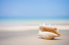 A beach with seashell of lambis truncata on wet sand. Tropical p Royalty Free Stock Image