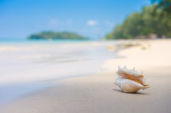 A beach with seashell of lambis truncata on wet sand. Tropical p Stock Image