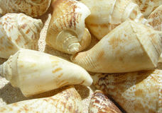 Beach shell Stock Photography