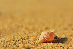 Beach Shell. Close-up of Beach shell in the Sand Royalty Free Stock Photos