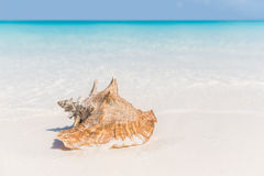 Beach shell ocean conch copyspace background Stock Images