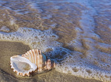 Beach shell in surf Stock Images