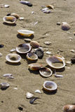 Beach shells. Detail of sea shells on a sandy mediterranean beach Stock Photography