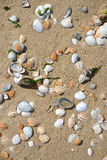 Beach shells in the sand with sunshine in the summer Royalty Free Stock Photo