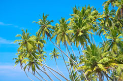 Beach side Sri Lanka with coconut trees Royalty Free Stock Image