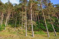 Beach slope with endless fir forests Royalty Free Stock Image