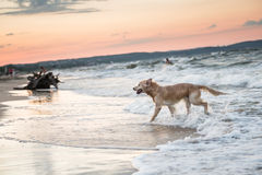 Beach in Sopot. Dog on a Baltic Sea beach in Karlikowo District in Sopot, Poland Stock Photography