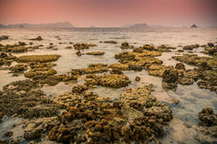Beach of staghorn corals. Staghorn Corals in the coral reefs of Myanmar Royalty Free Stock Photography