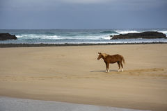 Beach Stallion Stock Photography