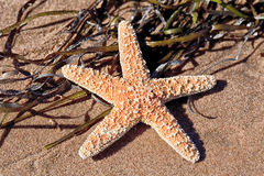 Beach Starfish Royalty Free Stock Images