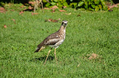 Beach-Stone curlew stock image