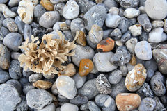 Beach stones. Beach with seaweed stones close up Stock Images