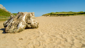 Beach stump. Dead dry tree stump on sandy beach in south wales royalty free stock photos