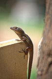 Beach stump. Maui anole brown lizard tree spotted colorful perched green Stock Photo