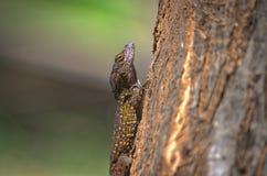 Beach stump. Maui anole lizard brown nature bark reptile Stock Photos