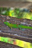 Beach stump. Maui gecko lizard brown nature bark reptile fence perched green colorful Stock Images