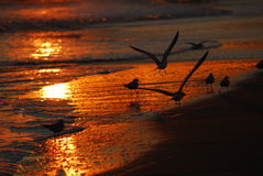 Beach Sunset Birds in Flight Royalty Free Stock Images