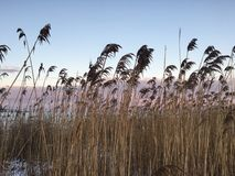 Beach sunset cat tails. Cat tails on beach during pink sky sunset Royalty Free Stock Images