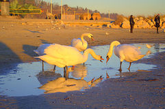 Beach swans altercate Royalty Free Stock Photos