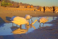 Beach swans Stock Photos