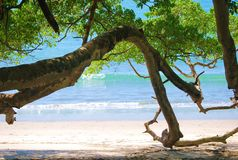 Beach and Tree. Tree on the Caribbean oceanfront in Costa Rica Royalty Free Stock Images