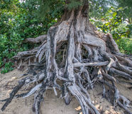 Beach Tree Roots Royalty Free Stock Images