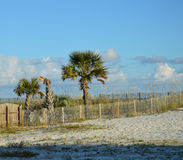 Beach Trees. Palm Tree's growing behind fence and tall grass on the path to the beach Stock Photo
