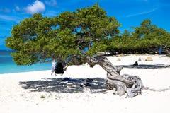 Divi divi tree - Libidibia coriaria - Aruba stock images