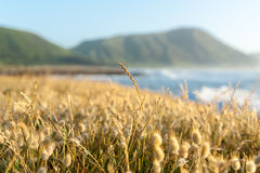 Beach vegetation selective focus grasses with blurry landscape b Stock Photography
