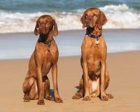 Beach Vizslas Stock Photo