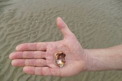 Empty sea snail shell lying on a man`s palm royalty free stock image