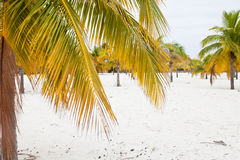 Beach with white sand and palms. Palm trees on the white sand. Cayo Largo Island. Cuba Stock Photo