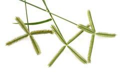 Beach wiregrass, Crowfoot grass, Egyptian Finger Grass (Dactyloctenium aegyptium (L.) Willd.). Stock Photo
