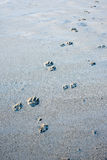 Beach wolf footprints in sand Royalty Free Stock Photos