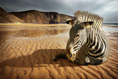 Beach Zebra. Surreal scene of a sitting zebra in an empty beach Stock Photos