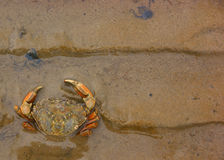 Beachcrab (Carcinus maenas) in the sand Royalty Free Stock Image