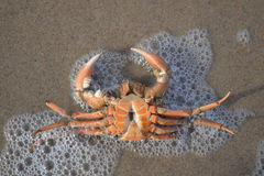 Beached crab at Dutch Northsea coast. Beached crab on the beach near the little village Petten Stock Photography