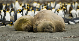 Beached Elephant Seal Couple. A Male and Female Southern Elephant Seal take up their spot on a beach in front of a King Penguin colony Royalty Free Stock Photos