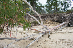 Beached Gum Tree. A Gum Tree growing down the beach due to bank erosion Royalty Free Stock Photos