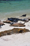 Beached harbor seals Stock Photography