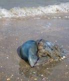 Beached jellyfish Belgian coast. At De Panne stock photos