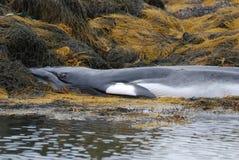 Beached Minke Whale Stock Image