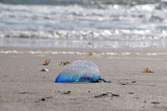 Beached Portuguese Man o' War. A beached Atlantic Portuguese Man o' War (Man of War stock photos