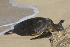 Beached Sea Turtle Stock Photography