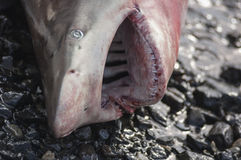 A beached shark on a beach in Muscat, Stock Photography