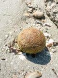 Mediterranean coastal environment. Posidonia oceanica. Beached spherical egagropyl. Also called sea balls, beach balls or Neptune balls, the egagropiles are stock photography