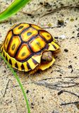 The Beached Tortoise. A beautiful yellow tortoise with a dark geometric pattern on a pale, sandy beach Stock Photo